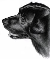Black Labrador by ArtsandDogs