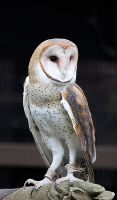 Owl Stock 10: Barn Owl by HOTNStock