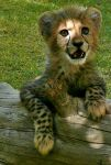 Baby Cheetah by Nature-is-art3