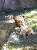 Tiger Cubs by Texas-Guard-Chic
