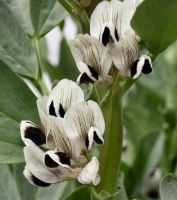 Giant Horse Beans (Vicia faba) by Caloxort