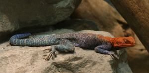 Rainbow Agama by SwiftFlyer
