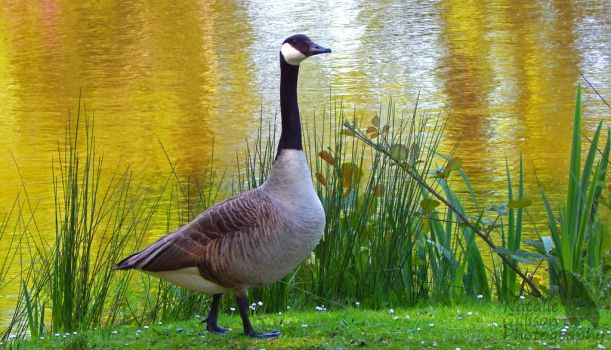Goose By The Lake by NGillisonPhotography