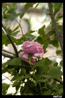 ROSE 5 by mufash