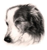 Commission - Border Collie by Captured-In-Pencil