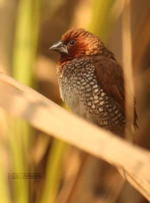 Scaly Breasted Munia by ~himphotography