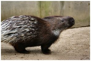 Porcupine I by DysfunctionalKid