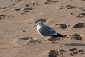 Seagull taking a walk by Ylwa