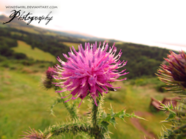 Thistle by WindSwirl