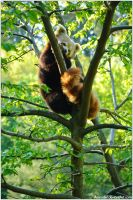 Red Panda on a Tree by amrodel