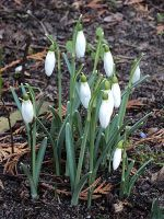 snowdrops without snow by marob0501