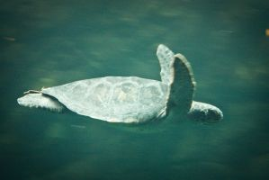 Sea Turtle by palina32