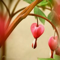 Dicentra Spectabilis by Somebody--else