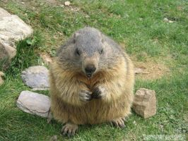Lovely marmot by Momotte2