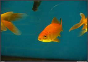 Fish Stock 0049 by phantompanther-stock
