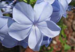 Blue Tropical Flower by my-dog-corky