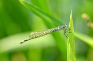 Damselfly by Lydiie