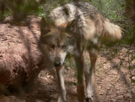 Mexican Wolf by 2112AWG