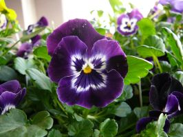 Pansy Flowers Stock by Enchantedgal-Stock
