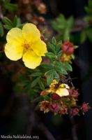Yellow Blossom by amrodel