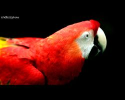 parrot by theendlessphoto