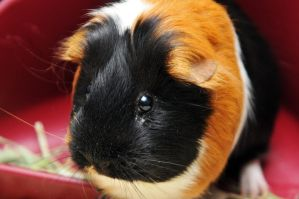 CPR Guinea Pigs XLIV by LDFranklin