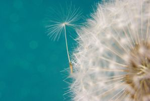 Dandelion blue by fotofly