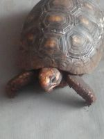 my Turtle by AlternateReality56