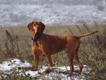 Hungarian Vizsla by peaceful-eagle