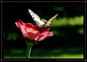 Butterfly on a flower by Lirieel