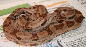 Post Shed - Salmon Boa 2 by Raah-man