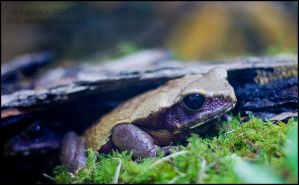 Smooth Sided Toad by aheria