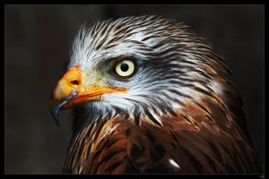 red kite by netbandit