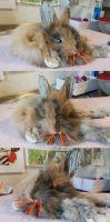 WIP Lionhead rabbit softmount by DeerfishTaxidermy