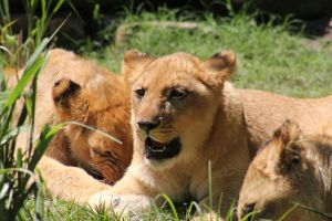 Lionesses4 by Lynxwing