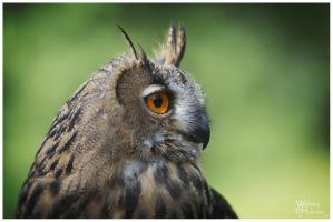 2013-87 Juvenile Eagle Owl by W0LLE