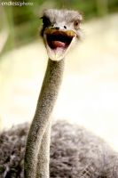 angry ostrich by theendlessphoto