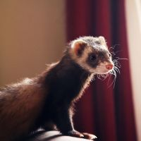 Ferret with Style by Chance87