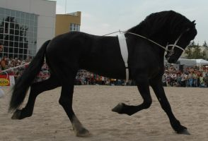 Friesian by Arcona