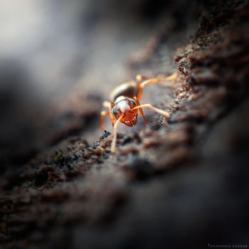 Ant by MohannadKassab
