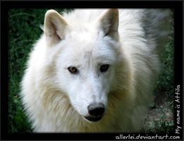 Arctic wolf: My name is Attila by Allerlei