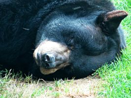 Black Bear close up by NathansMommy1787