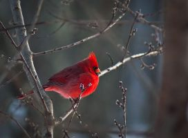 Winter Male Cardinal by LAlight