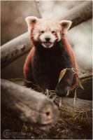 red panda II by RemusSirion