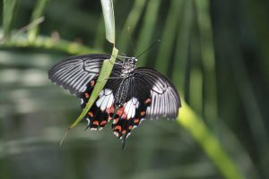 Red-bodied Swallowtail 01 by FoxRAGE-Stock