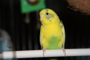 Budgie -- front by oddmountain
