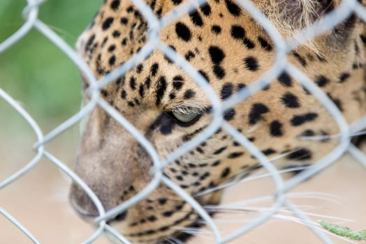 Why Does the Caged Jaguar Sing? by wonderflex
