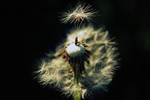 Dandelion by BlueColoursOfNature