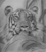 Raja, the wild tiger. by TheArtistSamanthaST