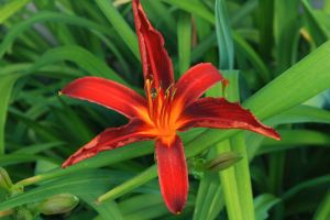 Daylily by Criosdan